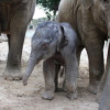 Erste Elefantengeburt im Zoo Osnabrück