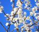 Kein Mandelblütenfest in Neustadt an der Weinstraße Touristen verbot