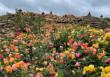1,5 Millionen Rosenblüten in Dennenlohe (FOTO)